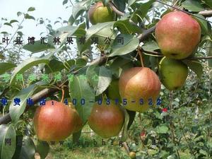梨树新品种-红月梨