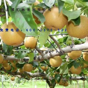 梨树新品种-晚秋黄梨