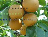 新品种梨树-酥蜜梨