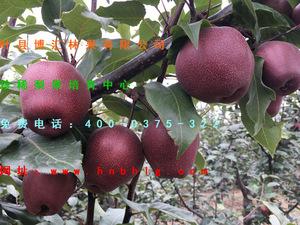 梨树新品种-奥世红梨