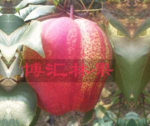 梨树新品种-早酥红梨