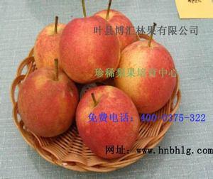 梨树新品种-粉红香蜜梨